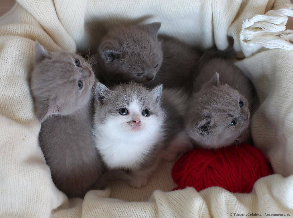 Топ-10 самых маленьких пород карликовых кошек в рейтинге zuzako с фото