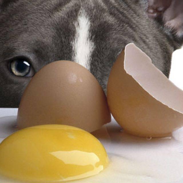 Можно ли щенкам давать яйца?