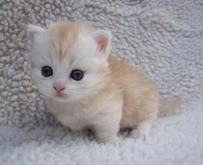 Карликовые кошки — описание, фото, уход, характер, цена