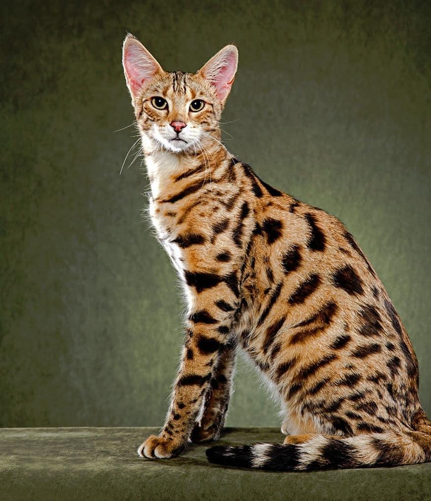 Рейтинг самых красивых кошек на планете