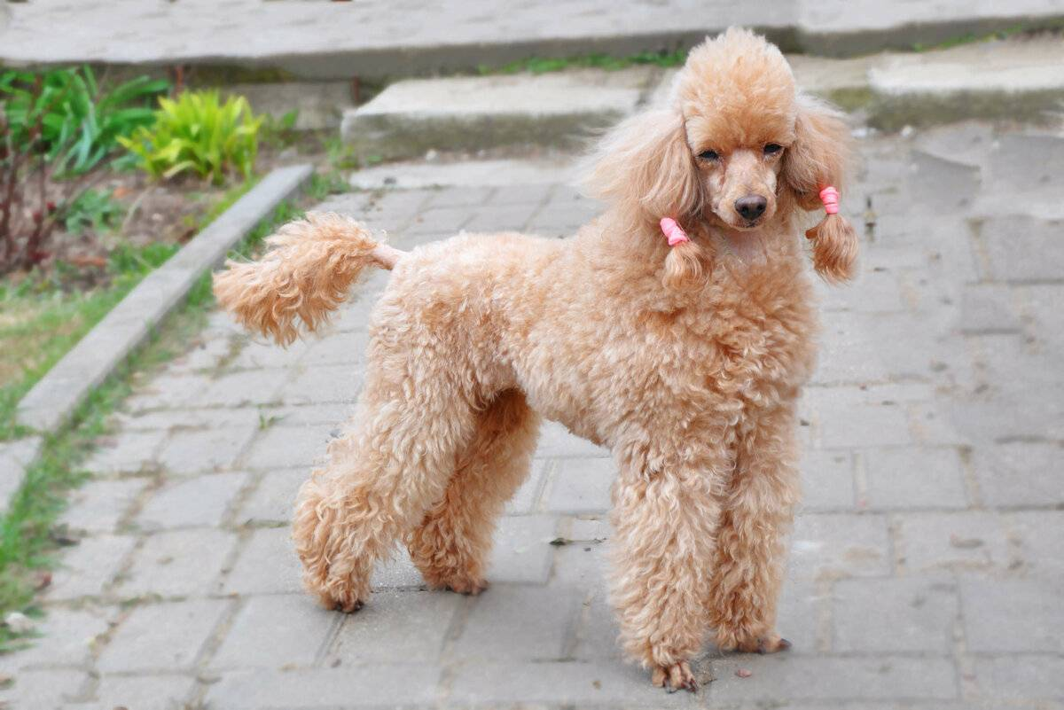 Нелиняющие породы собак: 20 гипоаллергенных пород