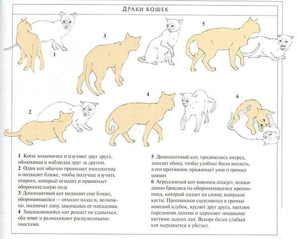 Половое созревание у котов и кошек