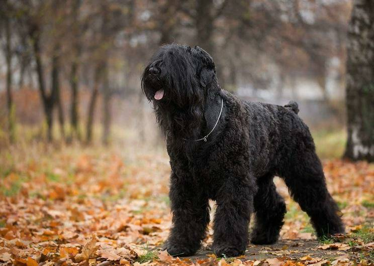 Черный (русский) терьер: описание породы, фото, характеристика, внешний вид собаки, цена, содержание