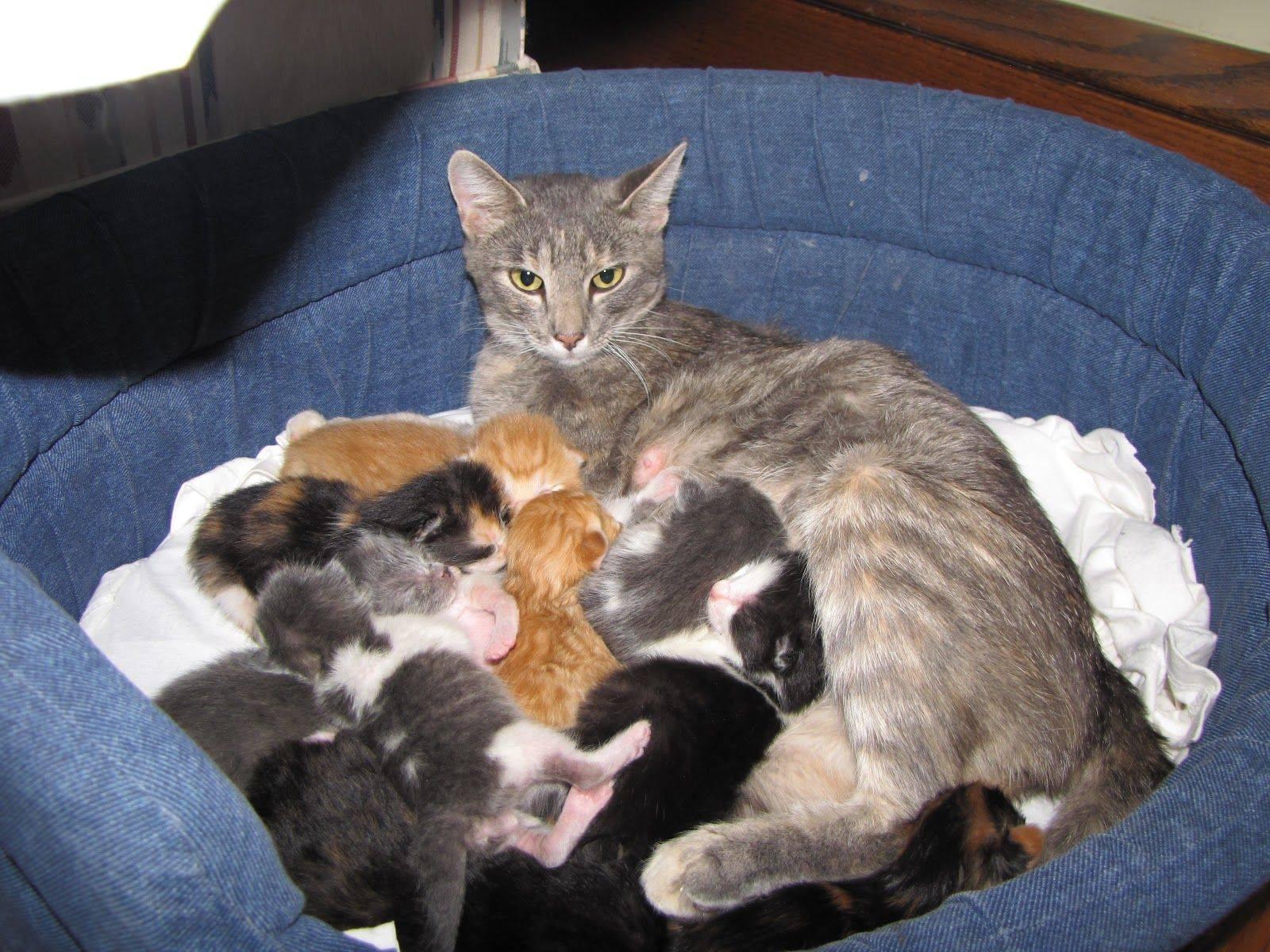 Кошки после родов без котят. чем кормить кошку чтобы было больше молока. уход за кошкой после родов