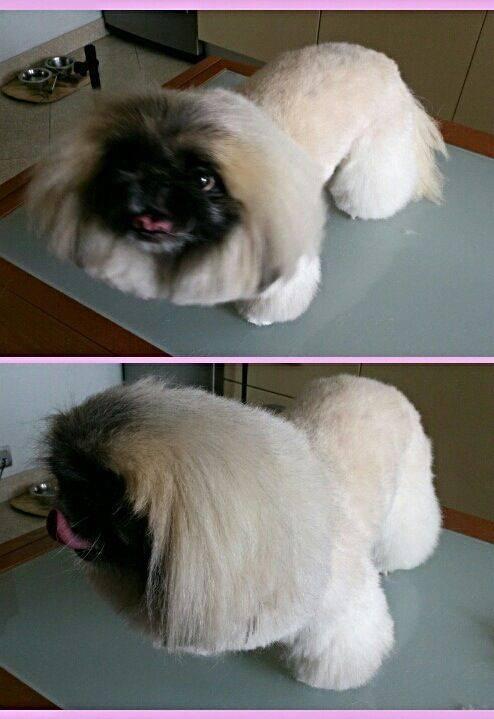 Как подстричь пекинеса в домашних условиях | собаки мира