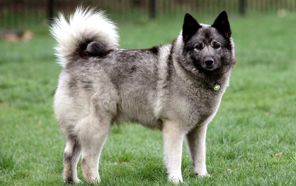 Норвежский элкхаунд (лосиная лайка): описание породы, характер и уход за собакой, + фото