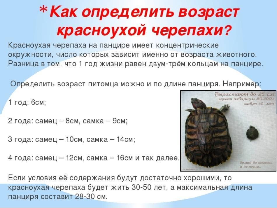 Что едят черепахи в домашних условиях (чем питается, корм): водные и сухопутные, чем кормить зимой, гаммарус, мясо