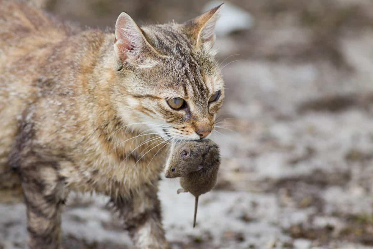 Какие кошки лучше ловят мышей: как выбрать породу