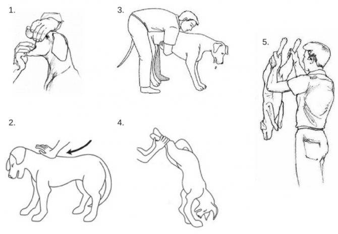 Что делать, если собака кашляет как будто подавилась | кашель