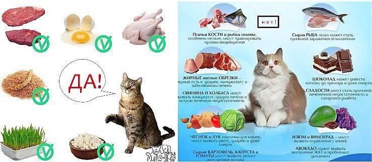 Правильное кормление кошек: какое лучше выбрать — натуральное или покупное