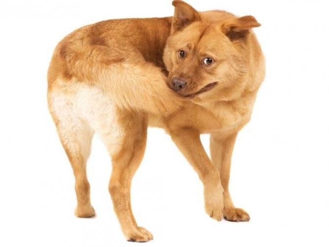По каким причинам собака может грызть свой хвост до крови и что делать хозяину