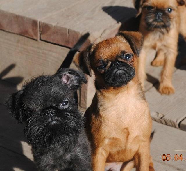 Брюссельский гриффон – фото, описание породы, цена щенка