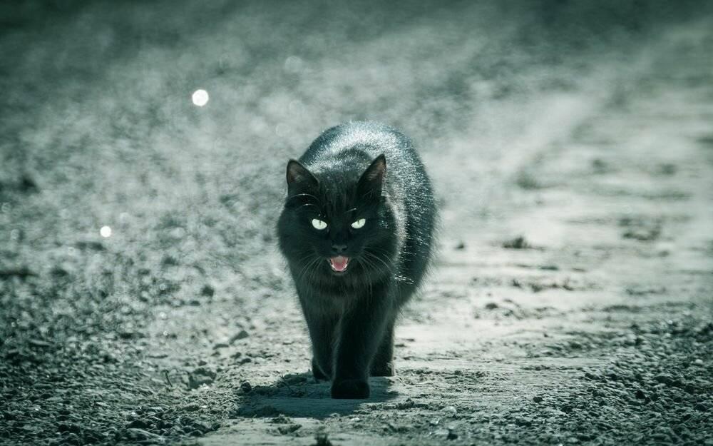 Черный кот в доме: хорошо или плохо, приметы и суеверия о черных питомцах