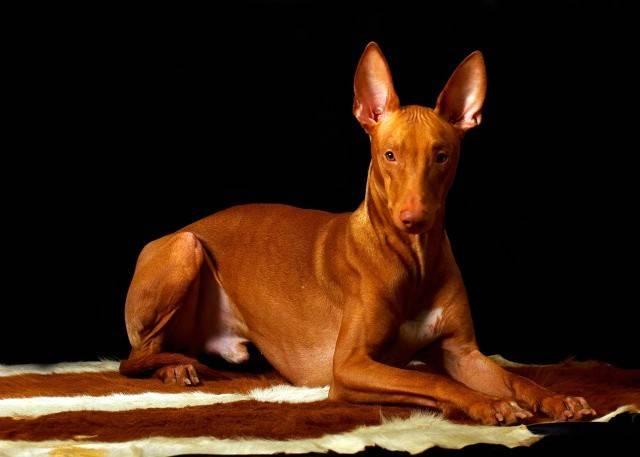 Фараонова собака: энергичный пес для охоты и преданный домашний любимец - kot-pes