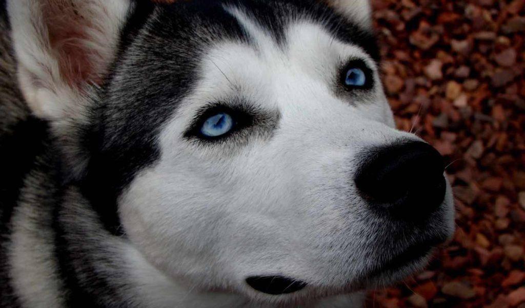 Как выглядят хаски коричневые: история происхождения собак и основные правила ухода