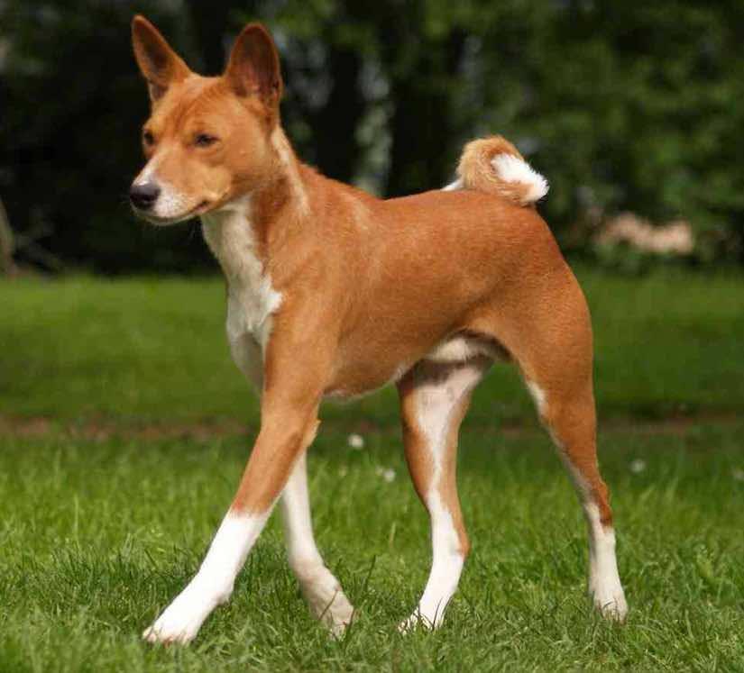 Не лает, не кусает – африканская собака басенджи