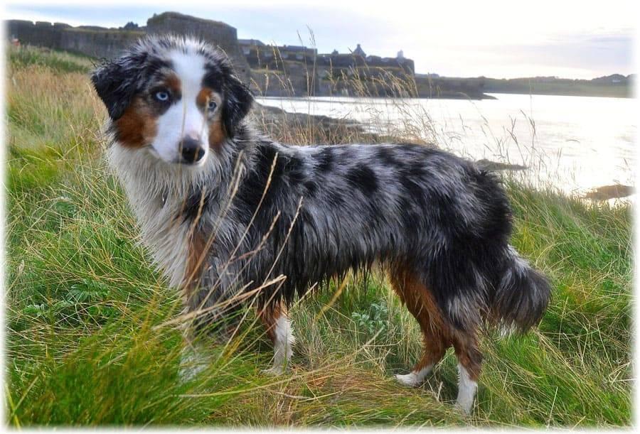 Австралийская овчарка: «призрачноглазая» собака с загадочной историей