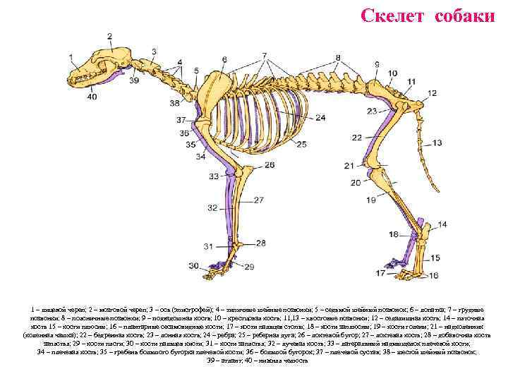 Строение тела собаки. анатомия собак и кошек кровеносная система собаки схема - медицина