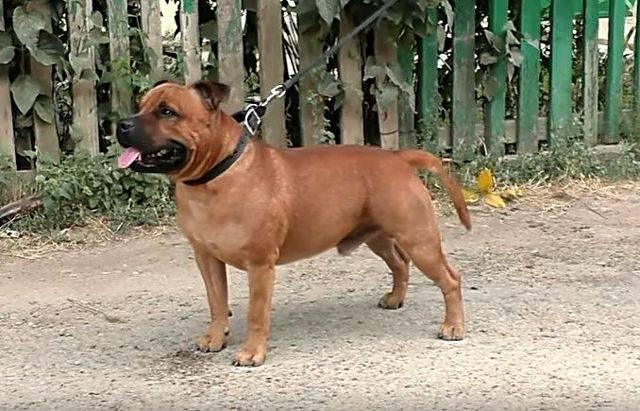Самые опасные породы собак в мире: список топ-10 с фото и видео