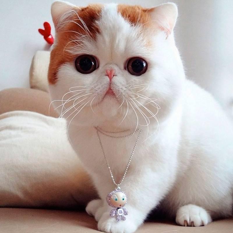 Японский кот снупи: описание породы, характер