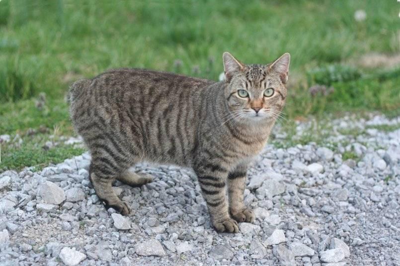 Порода кошек без хвоста: название и описание