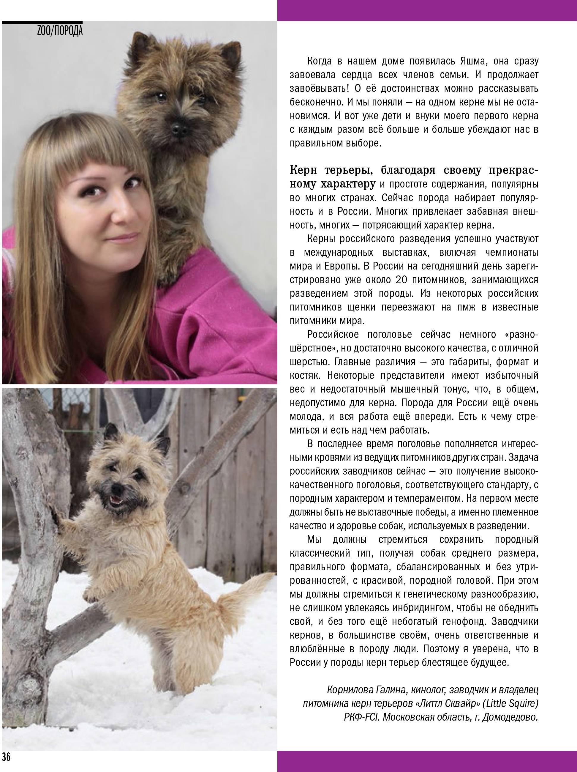 Керн-терьер — описание породы и характер собаки