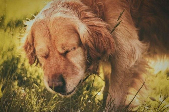 Собака чихает и фыркает: неопасные причины и вероятные патологии