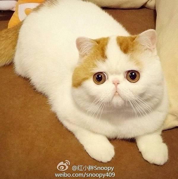 Коты с приплюснутой мордой: названия пород, их описания и фото