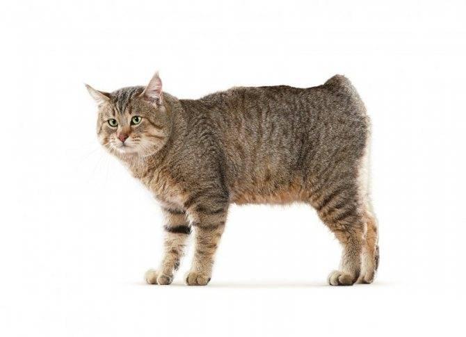Пикси-боб – кот с внешностью рыси