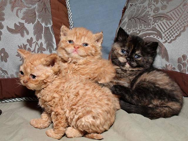 Кудрявые коты: список и описание пород, уход и содержание кошек, фото, как выбрать котенка, отзывы владельцев
