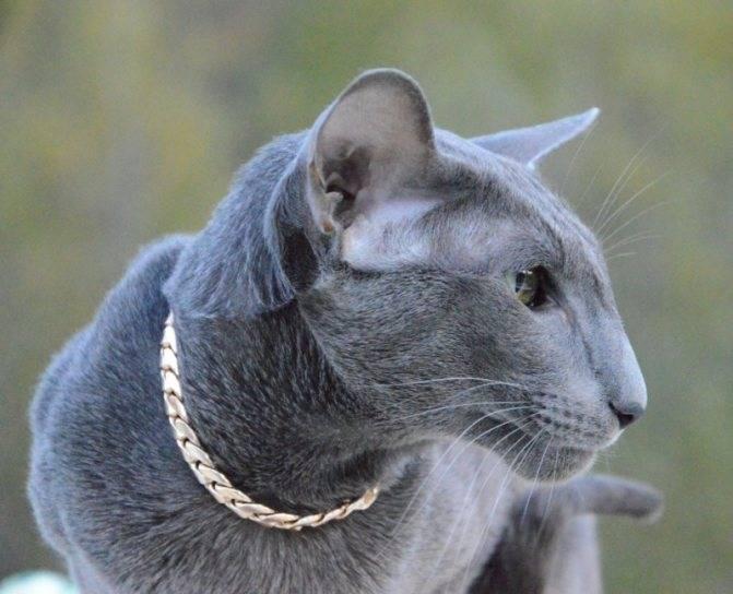Подробное описание породы кошек азиатская табби