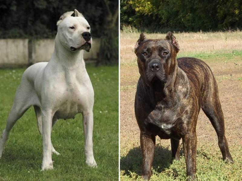 Порода собак аргентинский дог - описание, характер, характеристика, фото аргентинских догов и видео, цена