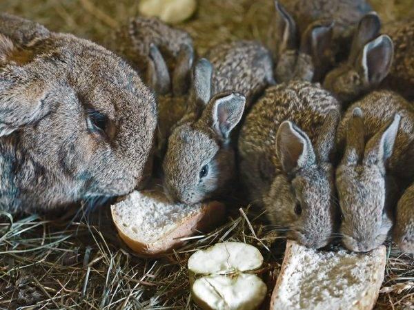 ✅ можно ли кроликам черный хлеб. допустимо ли кормление кроликов хлебом или сухарями - cvetochki-ulyanovsk.ru