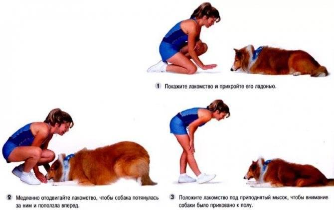 Как научить собаку команде «фас»?