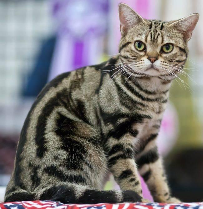 Американская короткошерстная — характер, стоимость, цена и особенности выбора котят (115 фото)