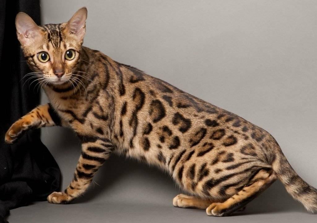 Бенгальская кошка: фото, описание, характер, содержание, отзывы