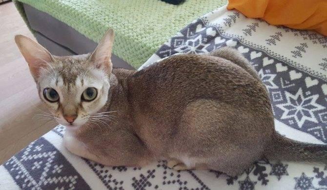 Сингапурская кошка. описание, особенности, уход и цена сингапурской кошки