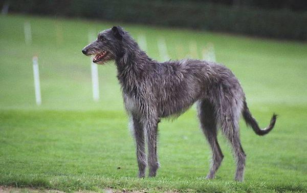 Топ-10 самых быстрых пород собак в мире