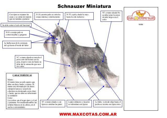 Тримминг цвергшнауцера: как превратить собаку в объект восхищения