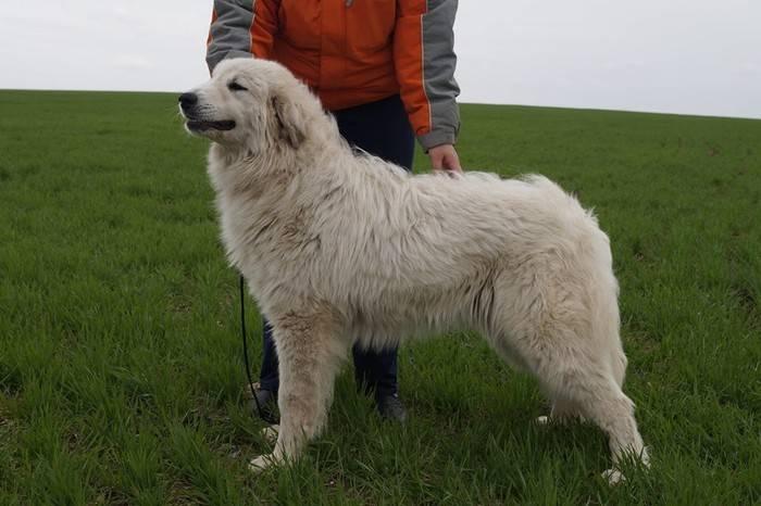 Большая горная пиренейская собака — описание породы