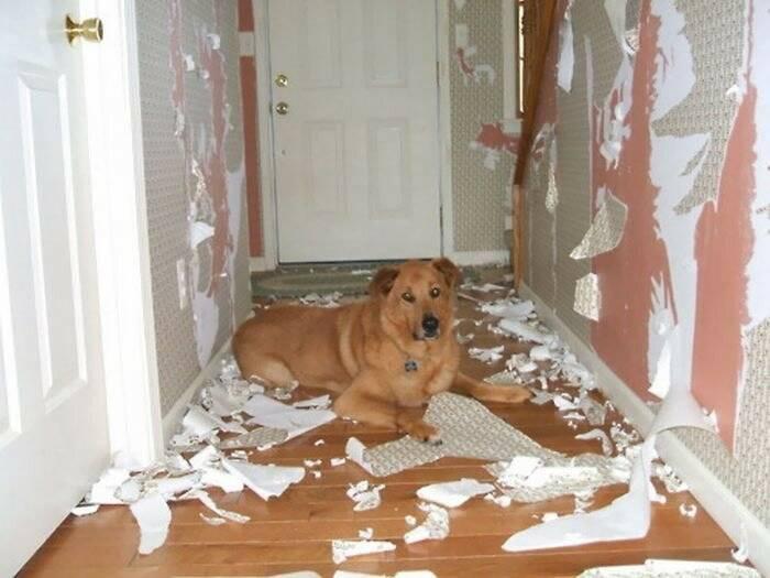 Почему лают собаки, как отучить щенка или взрослого пса гавкать дома или во дворе без причины и в отсутствие хозяина?