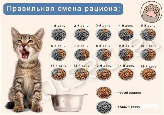 Чем и когда кормить кошку в первые дни после стерилизации: кормление кормом или домашней едой