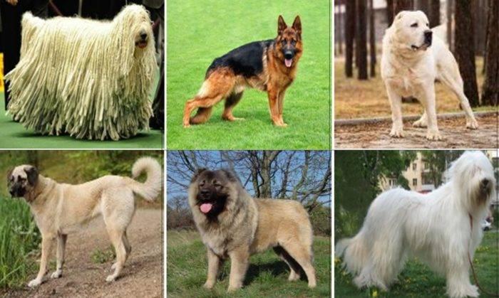 Топ-8 лучших пород собак компаньонов среди овчарок