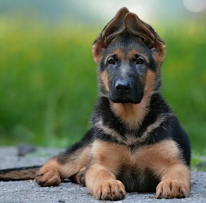 Правильный уход за щенком немецкой овчарки на всех этапах его развития ⋆ собакапедия