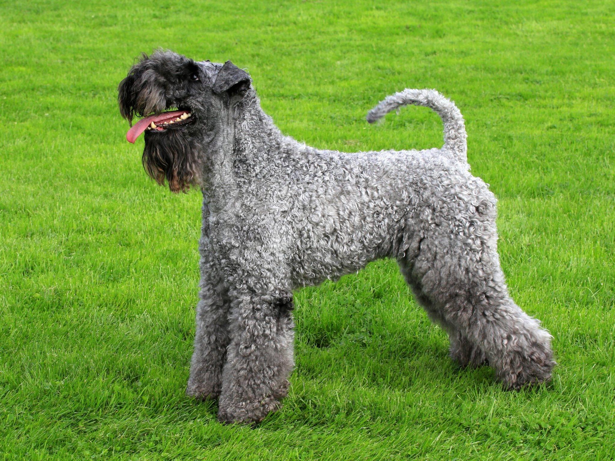 Керри блю терьер: фото собаки, описание породы и отзывы