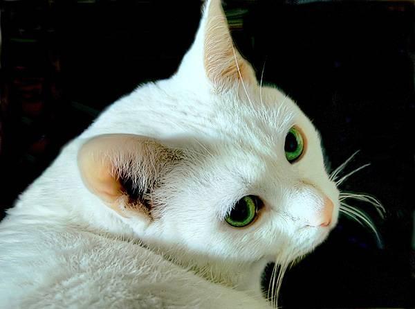 Белая кошка в доме: особенности, характер и уход
