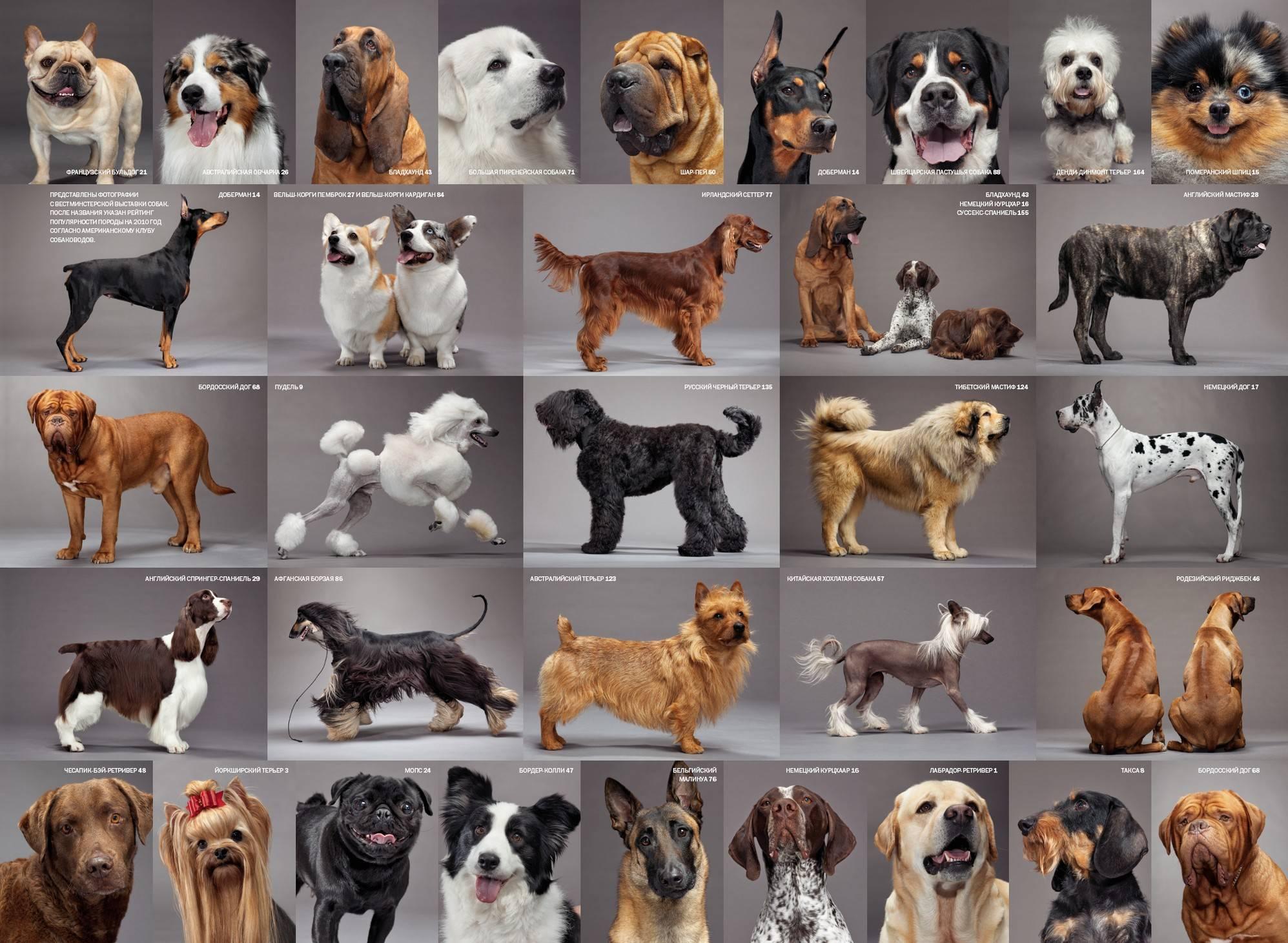 Самые маленькие породы собак в мире: фото, цена. топ-18