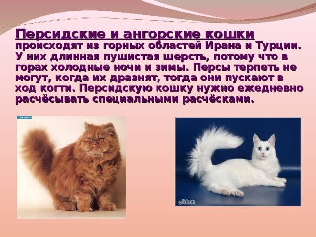 Турецкая ангора котята: внешность, фото, характер, уход