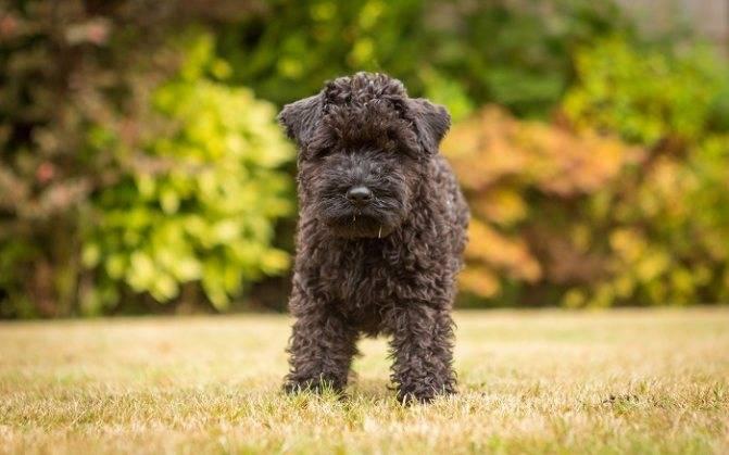 Керри-блю-терьер - описание породы и характер собаки