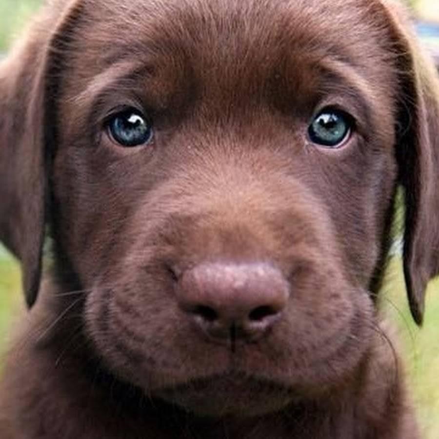 Окрасы лабрадора: шоколадный, белый, коричневый и др.
